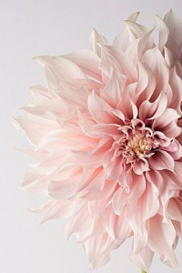 Soft pink Dahlias are a wonderful addition to your Spring garden
